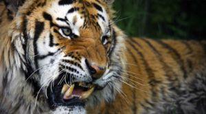 tigris_102140190