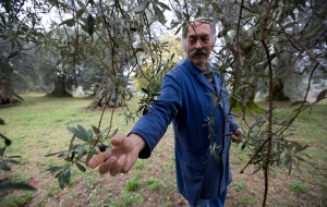 Europe Olive Crop Calamity
