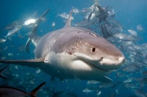 A-great-white-shark-seen-with-wound-marks-of-jaws-near-the-Neptune-Islands-Australia