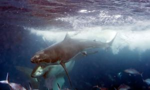 Two-great-white-sharks-collide-to-attack-each-other-in-the-Neptune-Islands-Australia