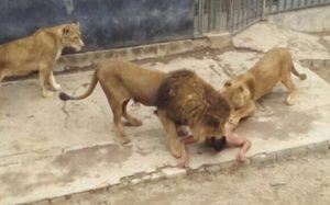 98757647_restricted_lion_mauling-large_trans++eo_i_u9APj8RuoebjoAHt0k9u7HhRJvuo-ZLenGRumA